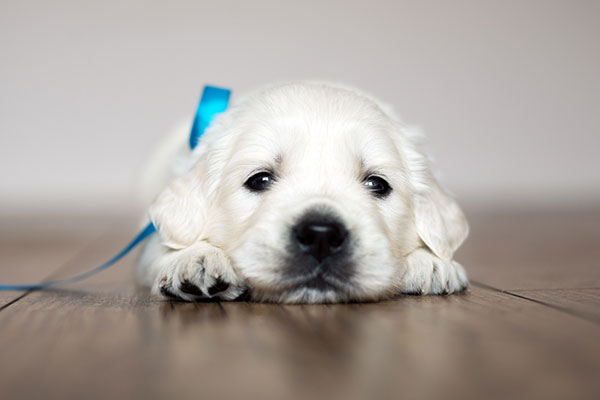 Puppy laying on a hardwood floor with a blue bow